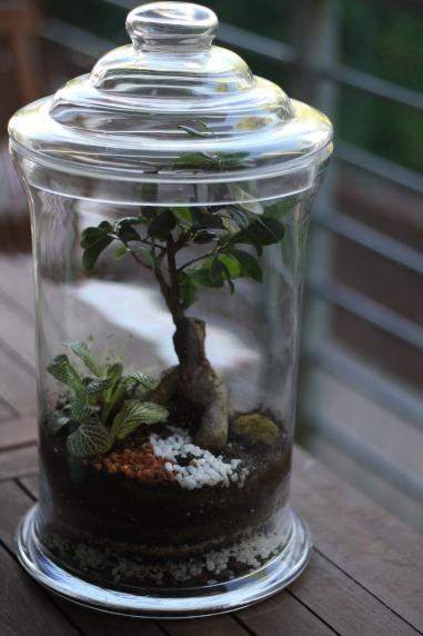Large Ficus Bonsai Terrarium